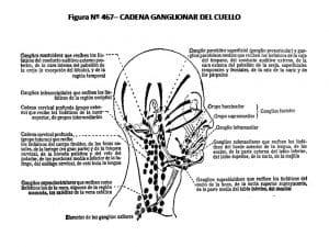 Ganglions derrière l'oreille