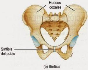 ▷ La symphyse pubienne et son rôle dans la grossesse