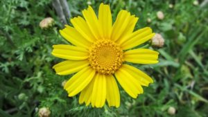 Arnica-Characteristics-properties-applications-oil-cream-Planta